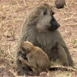 Lake Manyara monkeys