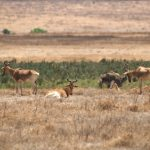 Ngorongoro antilopes