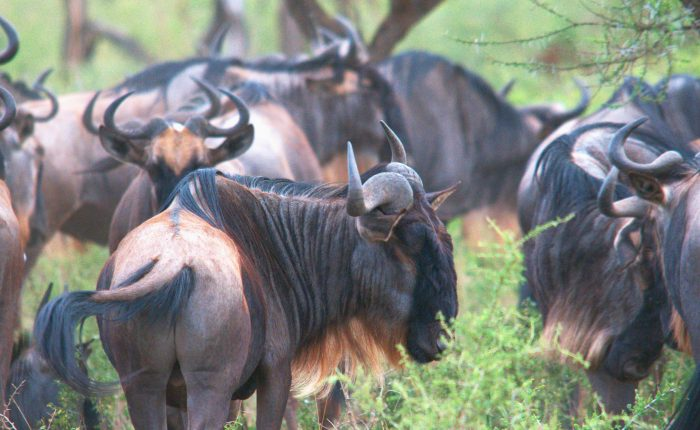 The Great Migration Gnu